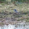 Pied Wagtail, Motacilla alba 5271