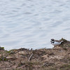 Little Ringed Plover, Charadrius dubius with Pied Wagtail, Motacilla alba  5168