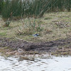 Little Ringed Plover, Charadrius dubius with Pied Wagtail, Motacilla alba 5257