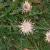 Greater Knapweed, Centaurea scabiosa 1060