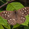 Speckled Wood, Pararge aegeria 1011