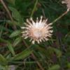 Greater Knapweed, Centaurea scabiosa 1056