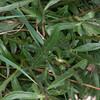 Greater Knapweed, Centaurea scabiosa 1059