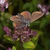 Brown Argus, Aricia agestis 0994