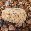 Common Whelk eggs, Buccinum undatum 0835