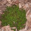 Haircap Moss, Polytrichum commune 4018