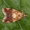 Yellow-spot Twist, Pseudargyrotoza conwagana 2930