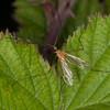 Phoretic Mite, Calyptostoma species on Cranefly, Limonia phragmitidis 3174