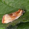Brassy Twist, Eulia ministrana 3282