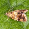 Yellow-spot Twist, Pseudargyrotoza conwagana 2925