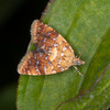 Yellow-spot Twist, Pseudargyrotoza conwagana 3159