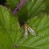 Phoretic Mite, Calyptostoma species on Cranefly, Limonia phragmitidis 3176