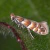 Red Hazel Midget, Phyllonorycter nicellii 3240