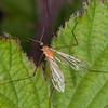 Phoretic Mite, Calyptostoma species on Cranefly, Limonia phragmitidis 3175