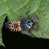 Harlequin Ladybird larva, Harmonia axyridis 5938