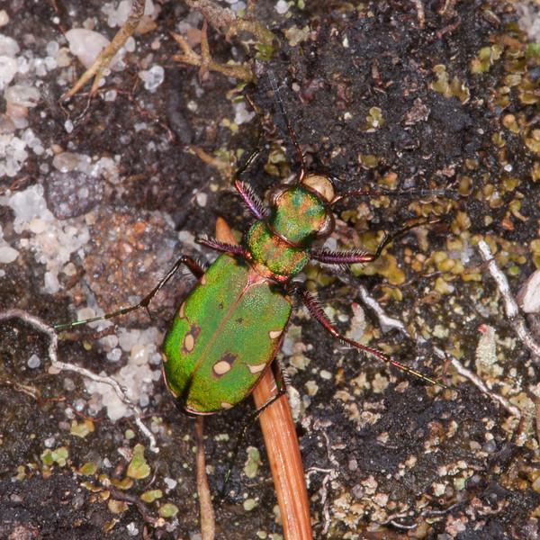 Green Tiger Beetle, Cicindela campestris 6221