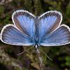 Silver-studded Blue ♂, Plebejus argus 6024