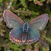 Silver-studded Blue ♀, Plebejus argus 6002