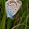 Silver-studded Blue ♂, Plebejus argus 6080