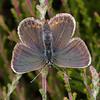 Silver-studded Blue ♀, Plebejus argus 6065