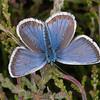 Silver-studded Blue ♂, Plebejus argus 6009