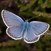 Silver-studded Blue ♂, Plebejus argus 6151
