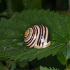 White-lipped Snail, Cepaea hortensis 5922
