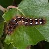 Knot Grass larva, Acronicta rumicis 6090