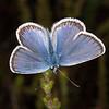 Silver-studded Blue ♂, Plebejus argus 6167