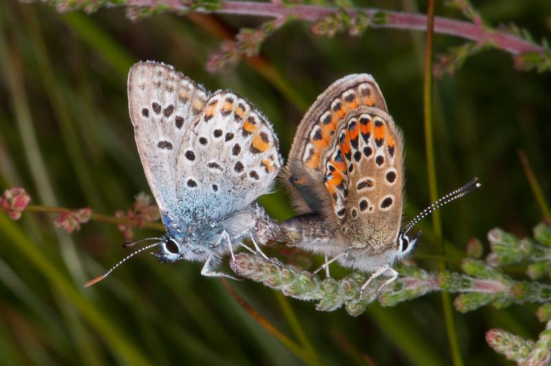 Silver studded Blues mating, Plebejus argus  6115