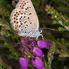 Silver-studded Blue ♀, Plebejus argus 6044