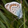 Silver-studded Blue ♂, Plebejus argus 6067