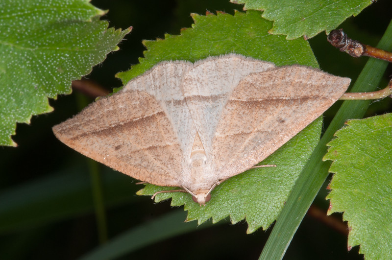 Brown Silver-line, Petrophora chlorosata 6035