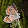 Silver-studded Blue ♀, Plebejus argus 6181