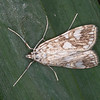 Brown China-mark, Elophila nymphaeata 5908