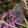 Silver-studded Blue ♀, Plebejus argus 6055