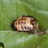 ladybird pupa noid 5931