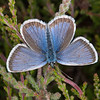 Silver-studded Blue ♂, Plebejus argus 6017