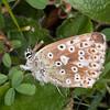 Chalk Hill Blue ♀, Polyommatus coridon 9705