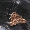 Straw-barred Pearl, Pyrausta despicata 9690