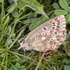 Chalk Hill Blue ♀, Polyommatus coridon 9692