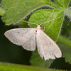 Small Fan-footed Wave, Idaea biselata 9719