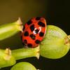 Harlequin Ladybird, Harmonia axyridis 9732