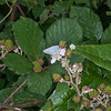 Holly Blue, Celastrina argiolus 9713