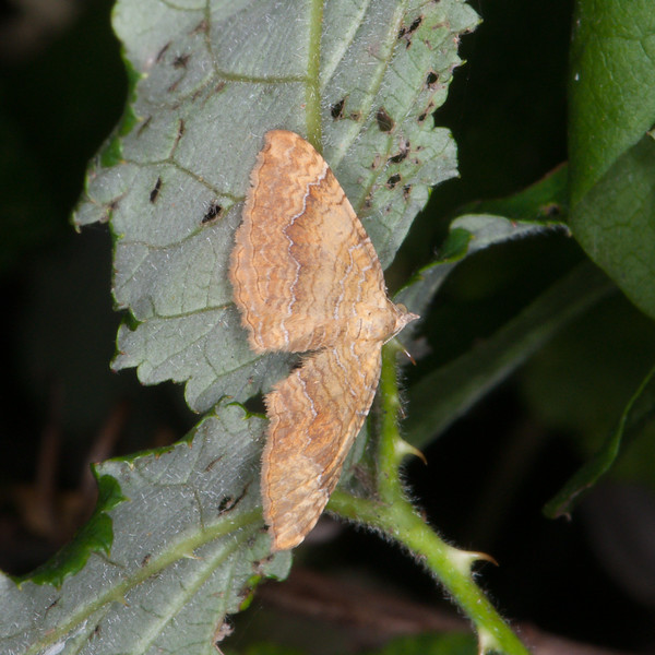 Yellow Shell, Camptogramma bilineata 9737