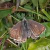Chalk Hill Blue ♀, Polyommatus coridon 9695