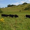 Dexter cattle 321