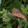 Straw-barred Pearl, Pyrausta despicata 9663