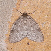 November Moth, Epirrita dilutata 8730