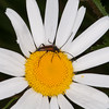 Black-striped Longhorn Beetle ♂, Stenurella melanura on Oxeye Daisy, Chrysanthemum leucanthemum  4751